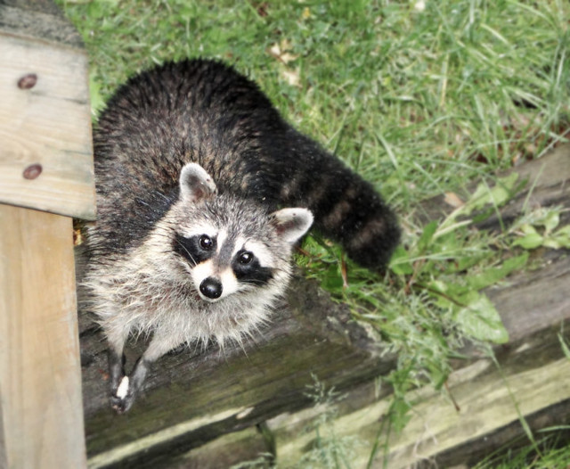 raccoon in our yard flickr photo sharing