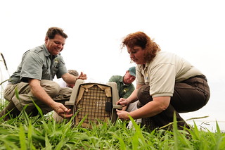 U.S. Fish and Wildlife Service prepares to free a cattle egret