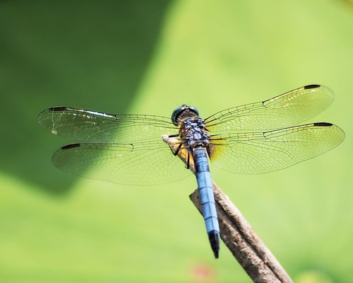 dragonfly © northcarolina 70300mm odonata washingtonnc bluedasher garyburke olympuse620