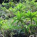 Dubautia plantaginea subsp. humilis