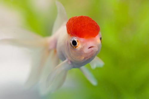 Redcap Oranda Care Sheet - ClubFauna Red Cap Oranda Goldfish
