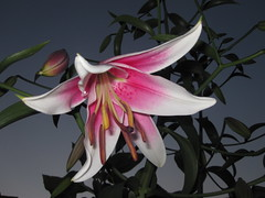 lily, flower, plant, flora,