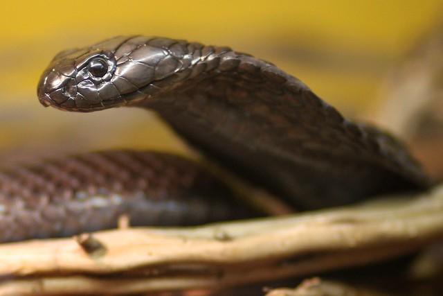 Egyptian Cobra 7