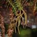 Huperzia phyllanthus