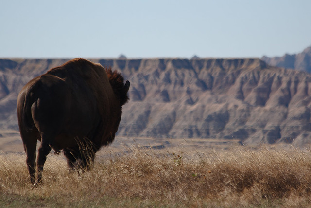 A bison in the Badlands