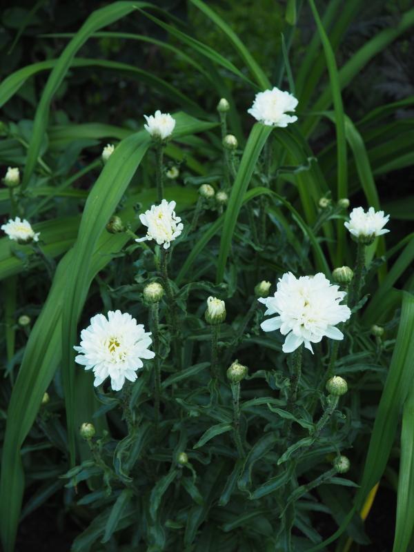 Leucanthemum vivaces de courte durée? 34948063063_eff8446f9f_o