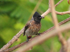 Red vented bulbul (Pycnonotus cafer)