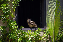 Eurasian Eagle-Owl in the World of Birds show at the Los Angeles Zoo