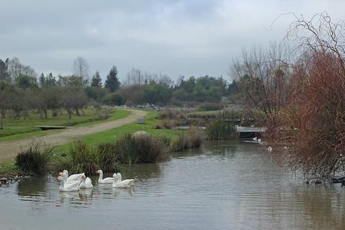 jardínbotánico universidaddetalca talca chile viiregión regióndelmaule animal naturaleza aves patos