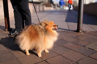 Freedom Plaza Pomeranian