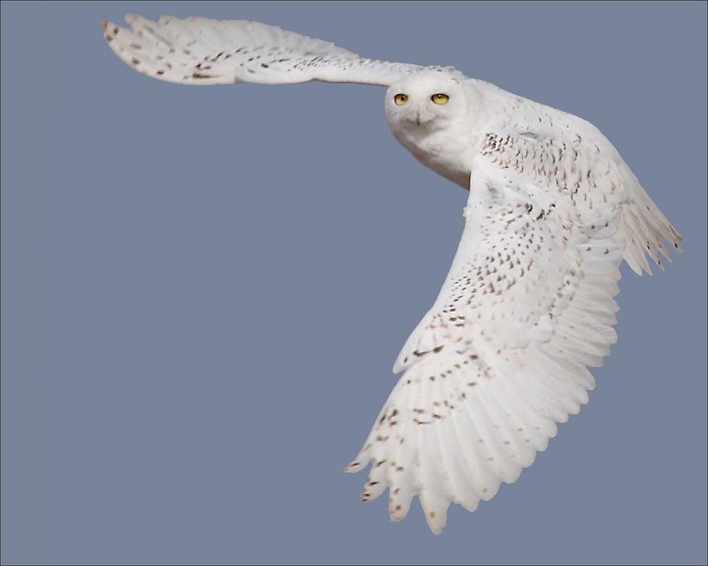 Snowy Owls In Flight