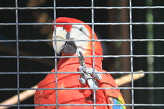 lovebird(0.0), lorikeet(0.0), animal(1.0), macaw(1.0), parrot(1.0), red(1.0), pet(1.0), fauna(1.0), beak(1.0), bird(1.0),