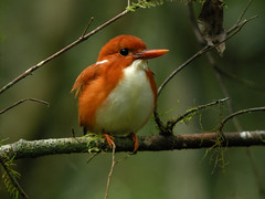 Madagascar Pygmy Kingfisher (Corythornis madagascariensis), Mantadia National  .... By: Frank Vassen