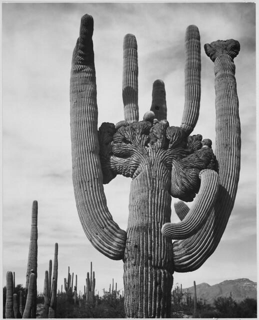 "View of cactus and surrounding area ""Saguaros, Saguaro National Monument,"" Arizona. (Vertical Orientation)"
