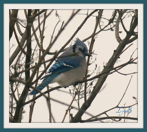 One of our Blue Jays