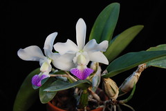 Cattleya walkeriana semi alba 'Gold Country'