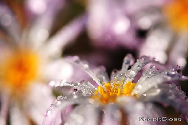 Tiny Conophytum flowers.