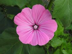 ipomoea violacea(0.0), four o'clock flower(0.0), malva(0.0), annual plant(1.0), flower(1.0), plant(1.0), flora(1.0), chinese hibiscus(1.0), petal(1.0),