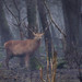 Red deer in the misty dense woodland