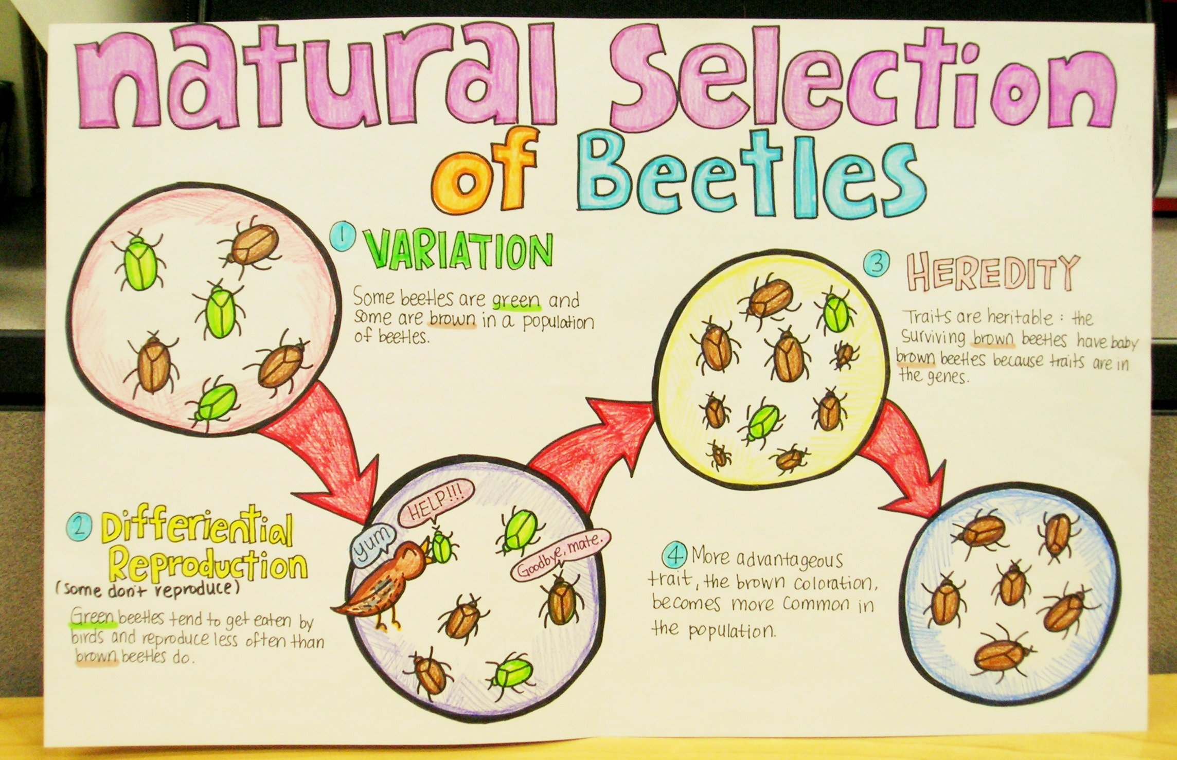 natural selection by davis pearson : natural selection diagram - findchart.co