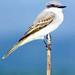 Gray Kingbird - Photo (c) Vishal Patel, some rights reserved (CC BY-NC-ND)
