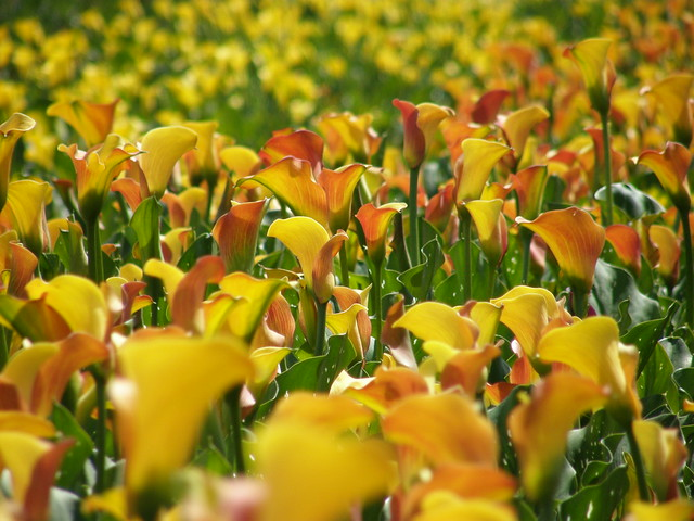 mango calla lily wedding bouquet