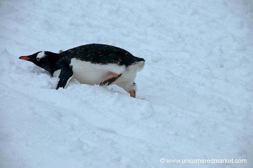Gentoo Penguin Going Up Hill - Antarctica by uncorneredmarket