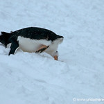 Gentoo Penguin Going Up Hill - Antarctica