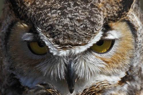 tucson raptor owl hunter greathornedowl arizonasonoradesertmuseum bubovirginianus freeflight schooksonruss russellstokes russellcstokes