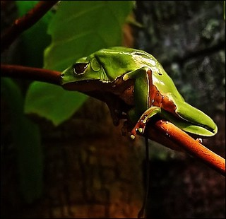 Green Frog, Is your body also freshly painted?