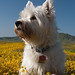 Jerry Kirkhart's Dog Mackenzie in Heaven in the Wildflowers