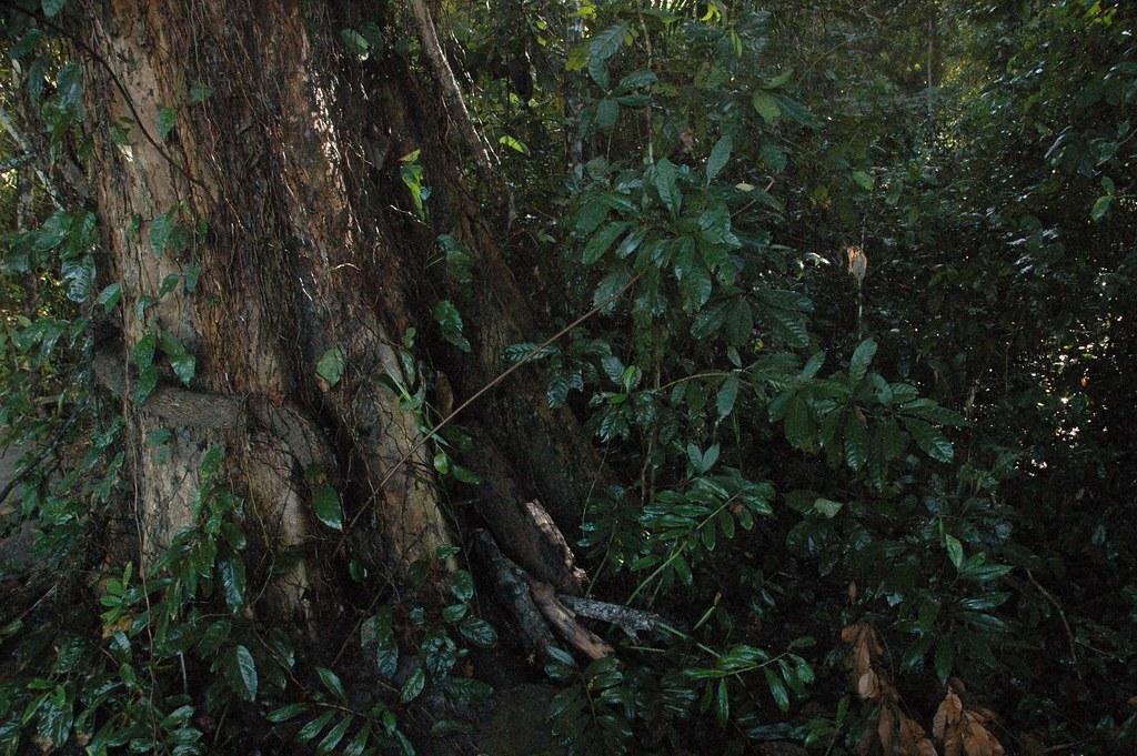 Big tree, Ngezi