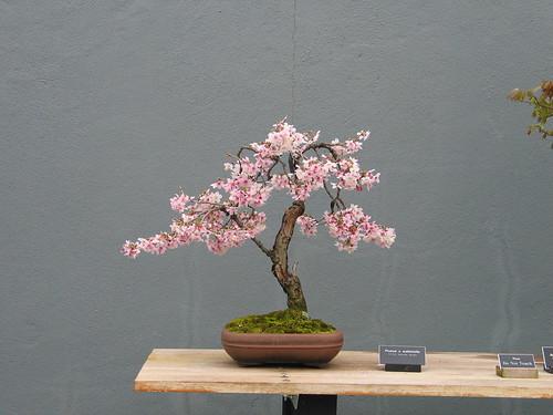Prunus x subhirtella Weeping Style in Spring