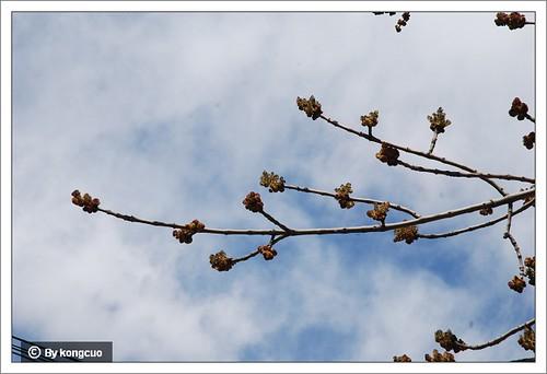 【图】木犀科梣属白蜡