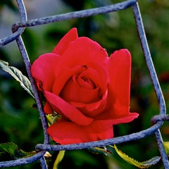 Rose Bud 3