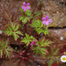 Greater Herb-Robert - Photo (c) Tig, all rights reserved