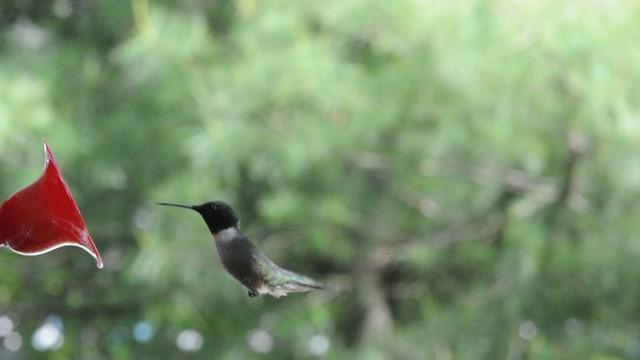 Ruby Throated Hummingbird - Male Feeding (HD)