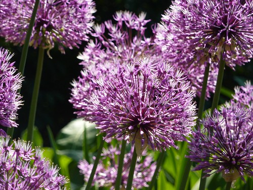 Alium Close Up