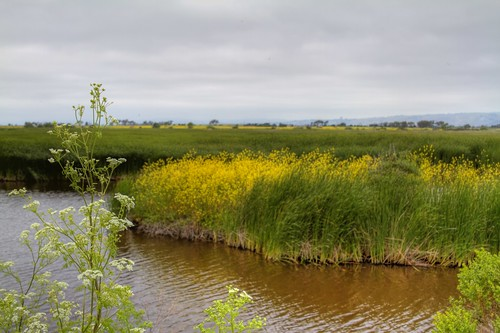 coyote park ca wild reeds day cloudy fremont hills 100views wetlands grasses marsh fennel regional marshes 1354