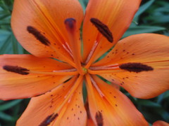 Orange Asiatic Lily II