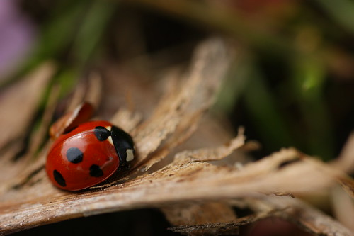 This is how a ladybird looks like up close and personal... *gulps* rather scary if you ask me..