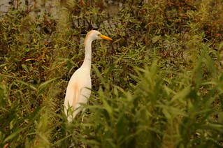 A cattle egret wades in the marshes after being freed by wildlife officials