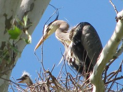 blue heron and baby
