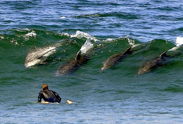 Surfing Bottlenose Porpoise Flickr Photo Sharing