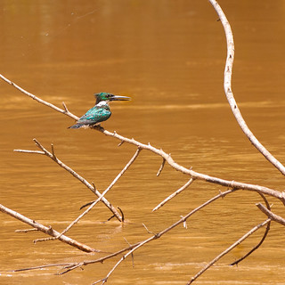 Kingfisher in the mangroves