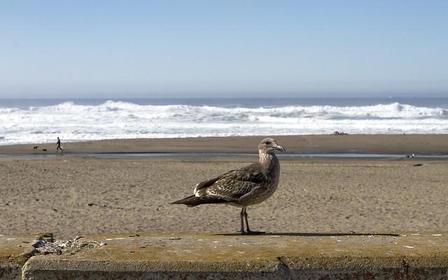 seagull at ocean beach san francisco