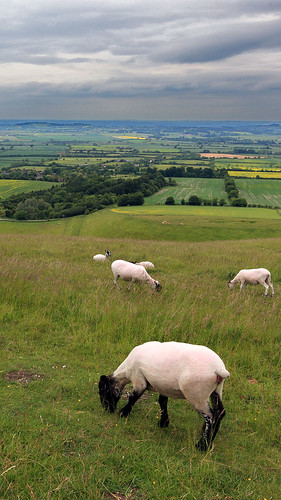Uffington White Sheep