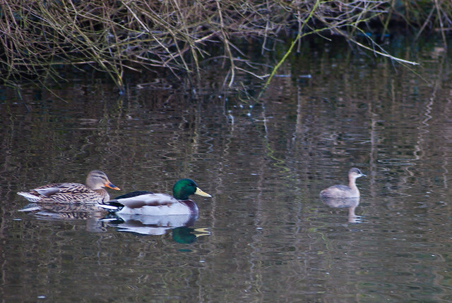 Little grebe and mallards