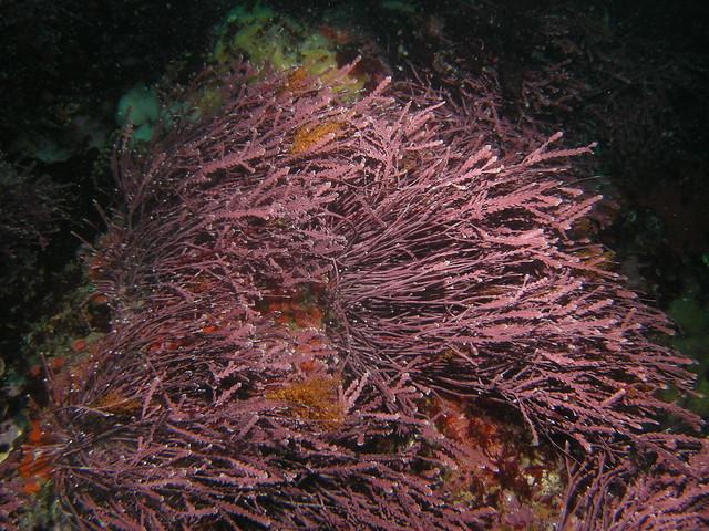 Rhodophyta (Red algae) | Flickr - Photo Sharing!