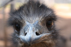 emu, animal, vulture, ostrich, flightless bird, fauna, close-up, beak, bird, ratite, wildlife,